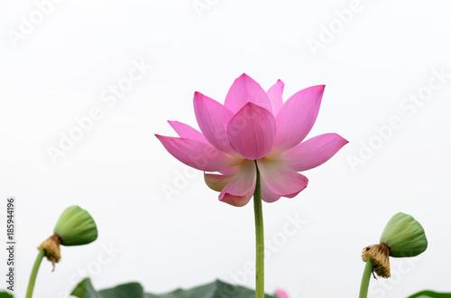 Garden Poster Lotus flower Blooming lotus flower, close-up