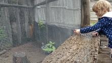 Child Viewing Fancy Chicken In...