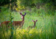 Mamma Deer With Fawn