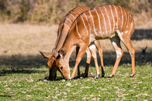 Two Female Nyala, A Type Of An...