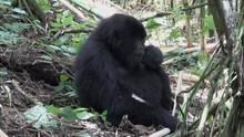 Mountain Gorilla, Young Male E...