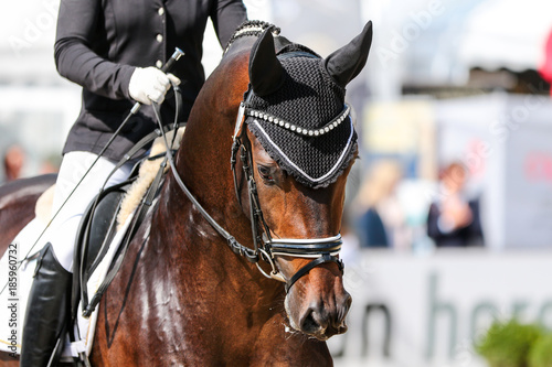 Horse stallion in dressage with bridle and earmuff chewing from hand in the crotch