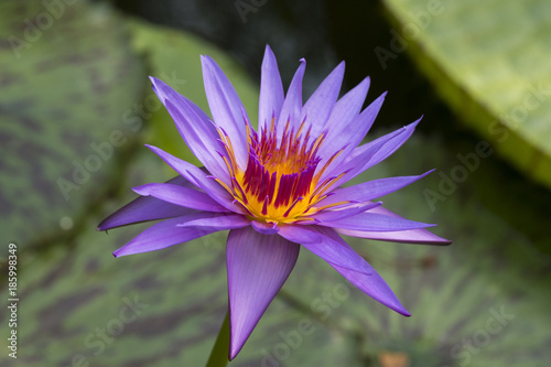 Water Lily , Nymphaea hybrid August Koch