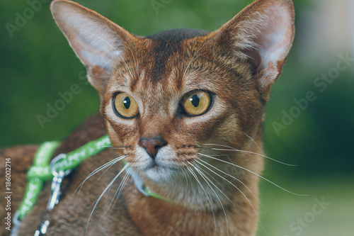 Fotografie, Obraz  portrait a close-up of a gorgeous Abyssinian cat with an indistinct background