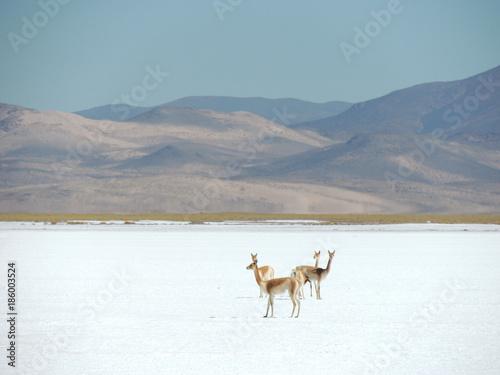 Foto auf AluDibond Lama Llamas en las salinas de Salta