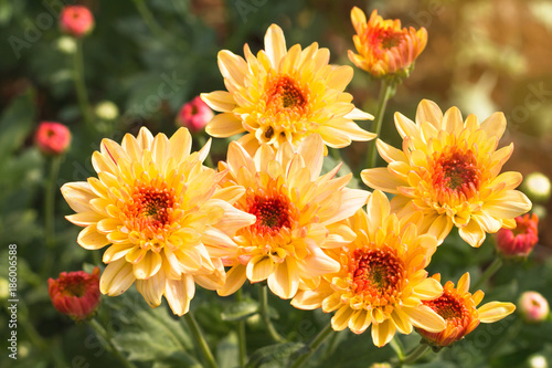 Beautiful of Chrysanthemums flowers outdoors,Daisies in the agriculture garden,C Fototapeta
