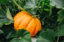 Orange Fresh Pumpkin In Garden