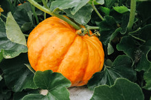 Orange Fresh Pumpkin In Garden