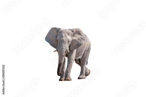 African elephant, isolated on white