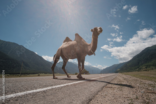 Fluffy camel against the background of the Caucasian high mountains.