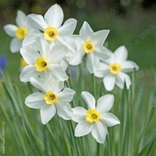 Narzissen, Osterglocken, Narcissus