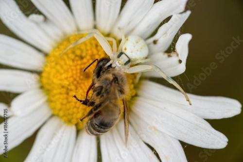 Veränderliche Krabbenspinne (Misumena vatia) auf Margeriten-Blüte hat Westliche Honigbiene (Apis mellifera) erbeutet, Lüneburger Heide, Niedersachsen, Deutschland, Europa