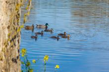 Family Of Ducks Swim In A Quie...