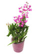Pink orchid flower Dendrobium kingianum in a pot isolated on white background. Fashionable creative floral composition. Summer, spring. Flat lay, top view. Love. Valentine's Day