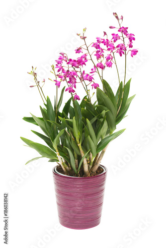 Fotobehang Lilac Pink orchid flower Dendrobium kingianum in a pot isolated on white background. Fashionable creative floral composition. Summer, spring. Flat lay, top view. Love. Valentine's Day
