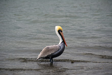 Pelican Profile/Side View Of B...