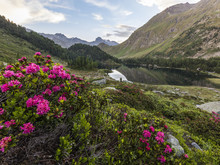 Rhododendrons On The Shore Of Lake Cavloc, Maloja Pass, Bregaglia Valley, Engadine, Canton Of Graubunden