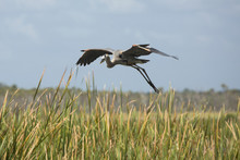 Great Blue Heron Flying Over Cattails In A Florida Swamp.
