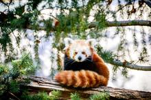 Cute Red Panda At Sacramento Z...