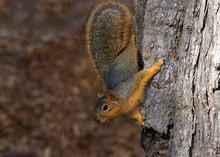 Squirrel Holding Onto A Tree. ...