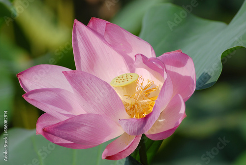 Staande foto Lotusbloem Pink Lotus with green leaf