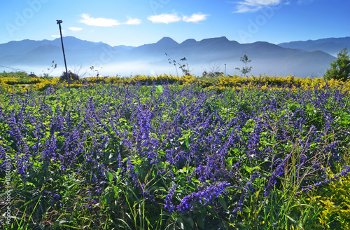 Photo Salvia plant in blooming time with aromatic leves                            with bright blue sky