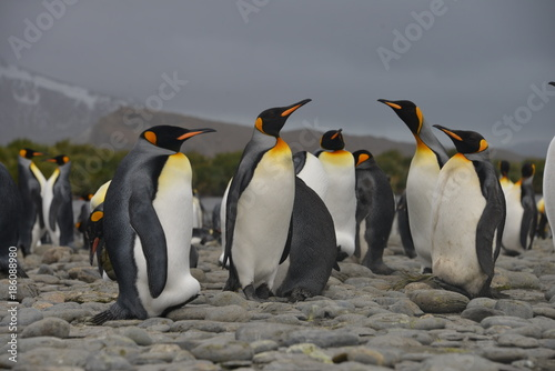 Fotobehang Antarctica Big Penguin colony on South Georgia