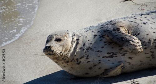 Fotografie, Obraz  Seals enjoying Christmas sun in La Jolla - 3