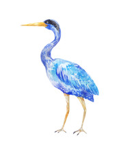 Watercolor Blue Heron. Illustr...