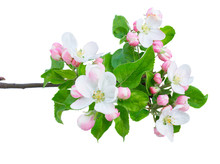 Apple Tree Flowers And Leaves