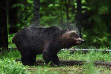 Bear Shaking Off Water, Drople...