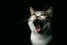 Yawning Cat Against Black Back...
