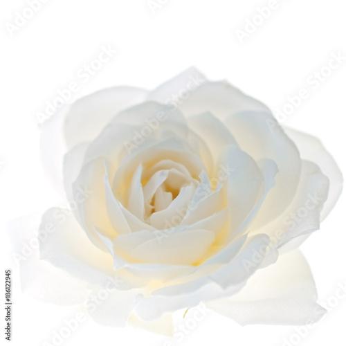 Obraz na płótnie White rose flower isolated on the white background