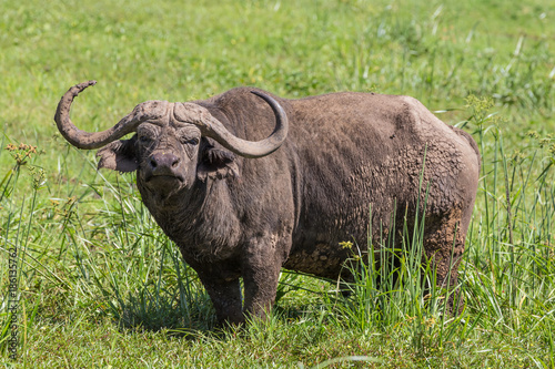 Recess Fitting Buffalo large male African buffalo, Syncerus caffer, grazing in the hot summer sun.