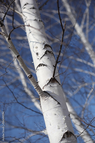 Tuinposter Berkbosje White birch in a forest