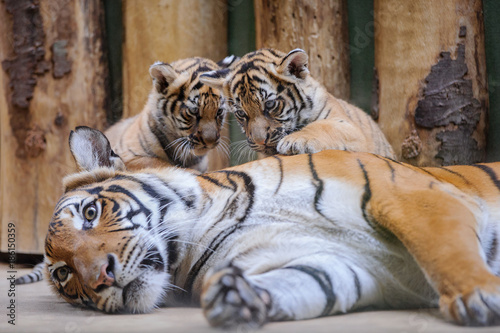 Two cute tiger cubs on lying mother buy this stock photo and two cute tiger cubs on lying mother altavistaventures Gallery