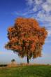 Freistehende Birke im Herbstlaub