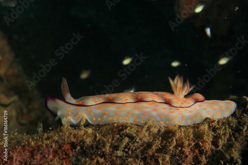 Chromodoris nudibranch sea slug