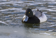 Ring-necked Duck (Aythya Colla...