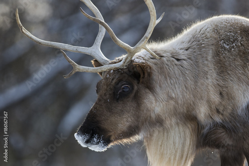 woodland caribou in winter