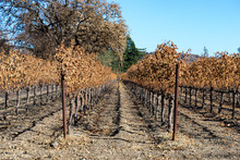 Burnt Vineyard, Sonoma, Califo...