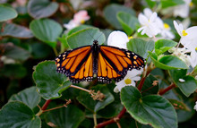 Battered Monarch