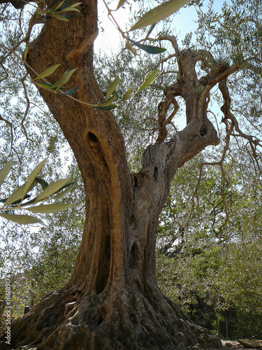 Tuinposter Olijfboom olive tree in Sant Antimo abbey