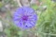 canvas print picture - Fleur bleue