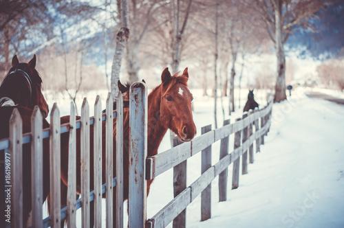 Fototapeta  letino caserta, lago matese, cavalli in un recinto sulla neve