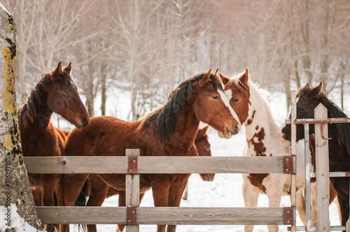 Obraz na plátně  letino caserta, lago matese, cavalli in un recinto sulla neve