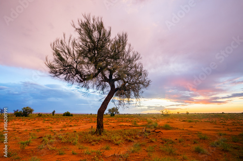 Poster Lichtroze A lone Hakea tree during twilight hour in the Pilbara region of North Western Australia, near the mining towns of Marble Bar and Port Hedland.