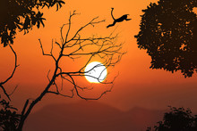 Silhouette Langur Jump On The ...