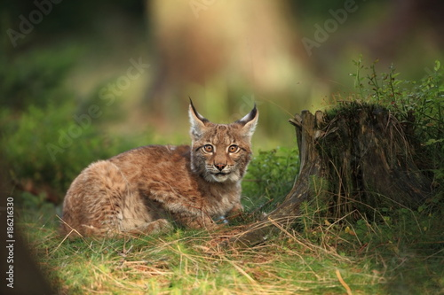 Spoed Foto op Canvas Lynx The wild nature of Europe. Beautiful nature of Czech. Photo was taken in the Czech Republic. Occurrence is in the whole of Europe.