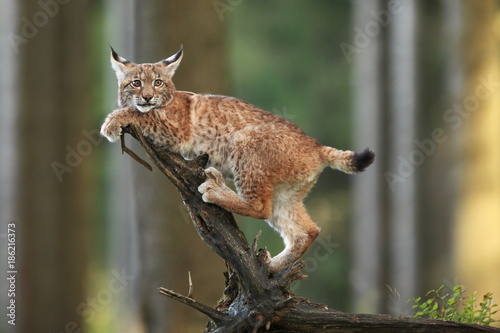 Photo Stands Lynx The wild nature of Europe. Beautiful nature of Czech. Photo was taken in the Czech Republic. Occurrence is in the whole of Europe.